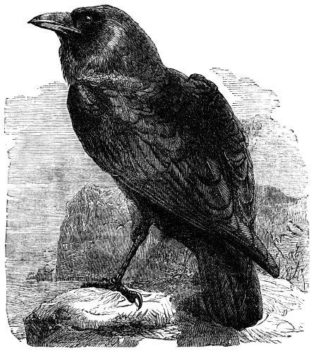 Corvus corax illustration essay